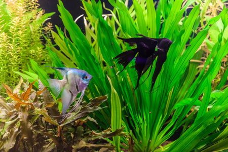 A green beautiful planted tropical freshwater aquarium with fish pterophyllum scalare Stock Photo - 22260323