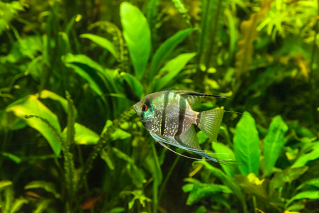 anubias: A green beautiful planted tropical freshwater aquarium with fish pterophyllum scalare