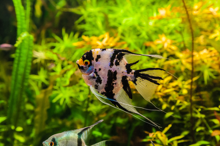 A green beautiful planted tropical freshwater aquarium with fish pterophyllum scalare Stock Photo - 22260330