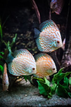 A green beautiful planted tropical freshwater aquarium with colorful tropical fish of the Symphysodon discus spieces Stock Photo - 22260367