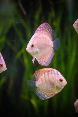 diskus: A green beautiful planted tropical freshwater aquarium with colorful tropical fish of the Symphysodon discus spieces Stock Photo