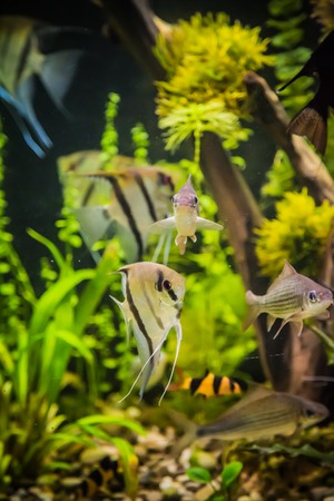 A green beautiful planted tropical freshwater aquarium with fish pterophyllum scalare Stock Photo - 22260634