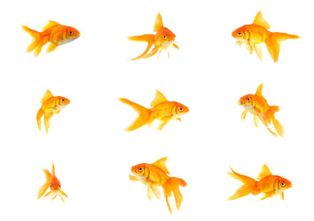 gold fish: Set of gold fishes isolated on a white background