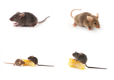 mouse animal: Set of mice, Mouse and cheese isolated on a white background