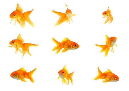 Set of gold fishes isolated on a white background photo