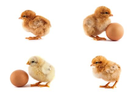 The set of yellow small chicks with egg isolated on a white background photo