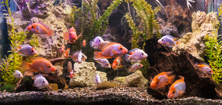 Tropical freshwater aquarium with big red fish