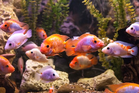 Tropical freshwater aquarium with big red fish Stock Photo - 25972740