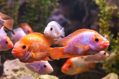 Tropical freshwater aquarium with big red fish Stock Photo - 25972741