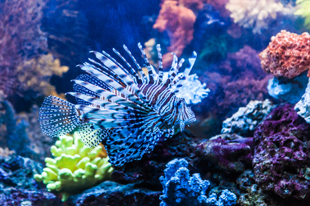 Lionfish in a Dubai aquarium. Pterois mombasae. Petrois Volitans. Lionfish. Turkeyfish. Scorpionfish. Firefish. Stock Photo - 25972743