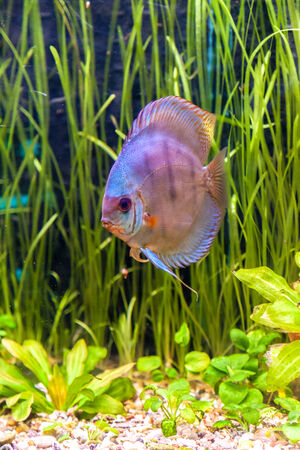 A green beautiful planted tropical freshwater aquarium with colorful tropical fish of the Symphysodon discus spieces photo