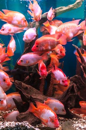 anubias: Acuario de agua dulce tropical con pescado rojo grande Foto de archivo