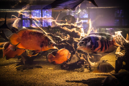 Shoal of tropical piranha fishes in freshwater aquarium Stock Photo - 25972753
