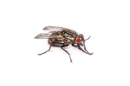 Macro photo d'une mouche domestique, Fly isolé sur un fond blanc Banque d'images - 25972794