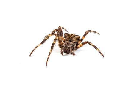 Big brown spider on a whtie background