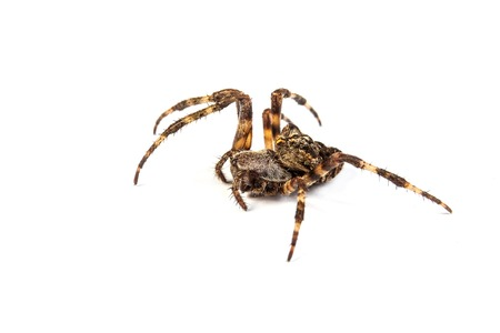 acrophobia: Big brown spider on a whtie background