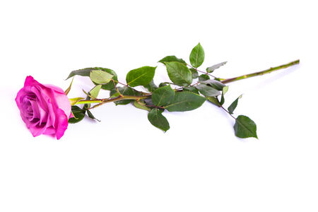 One fresh pink rose  isolated on a white background photo