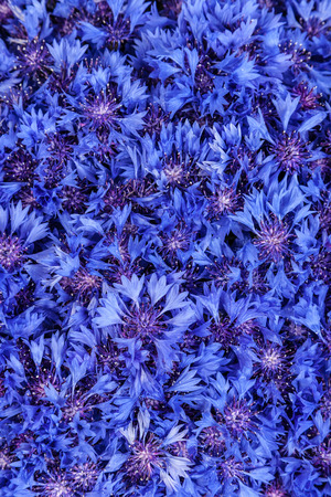 Beautiful spring flowers blue cornflower on background blue stock beautiful spring flowers blue cornflower on background blue flowers pattern stock photo 26055418 mightylinksfo