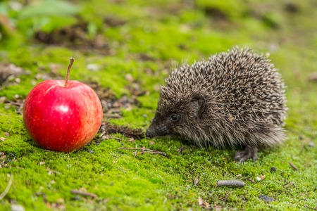 Hedgehog in a garden is looking for food photo
