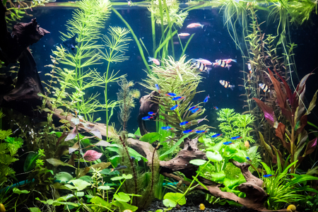 scalare: A green beautiful planted tropical freshwater aquarium with fishes Stock Photo