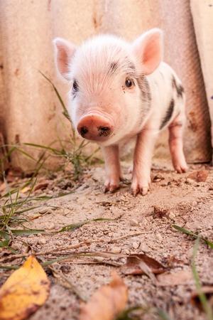 Close-up d'un porcelet mignon boueuse courir en plein air sur la ferme. Idéal pour l'image de l'agriculture biologique