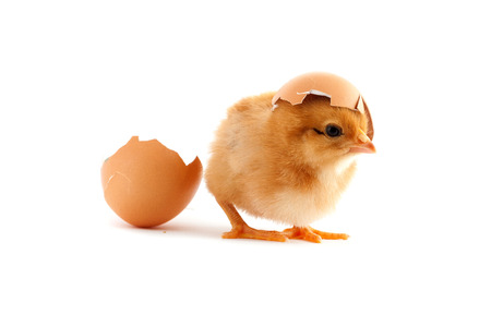 The yellow small chick with egg isolated on a white background photo