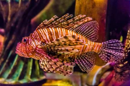 Lionfish in a Dubai aquarium. Pterois mombasae. Petrois Volitans. Lionfish. Turkeyfish. Scorpionfish. Firefish. photo