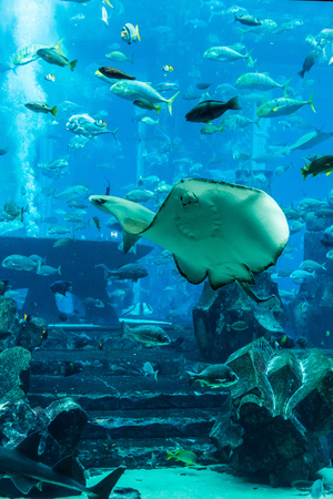 tropical fish on a coral reef. Stingray fish photo