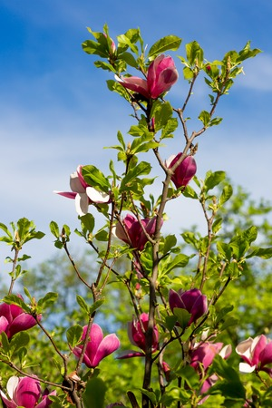 Flowering magnolia tree densely covered with beautiful fresh pink flowers in spring photo