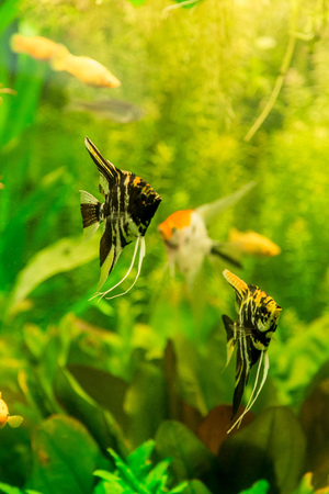 scalare: A green beautiful planted tropical freshwater aquarium with fish pterophyllum scalare