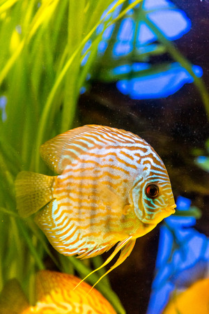 symphysodon: A green beautiful planted tropical freshwater aquarium with colorful tropical fish of the Symphysodon discus spieces Stock Photo
