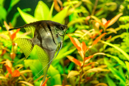 pterophyllum scalare: A green beautiful planted tropical freshwater aquarium with fish pterophyllum scalare