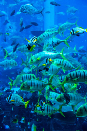 reefscape: Photo of a tropical fish on a coral reef in Dubai aquarium. Stingray fish