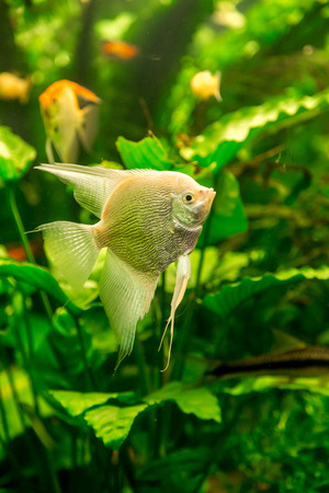 A green beautiful planted tropical freshwater aquarium with fish pterophyllum scalare photo