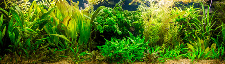 anubias: A green beautiful planted tropical freshwater aquarium with fishes Stock Photo