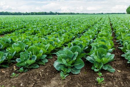 cabbage: Vista del paisaje de un campo de la col recién creciendo.