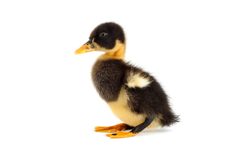webbed legs: The black small duckling isolated on a white background