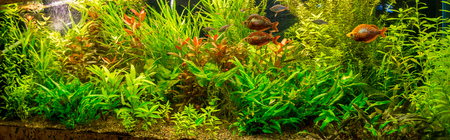 group of plants: A green beautiful planted tropical freshwater aquarium with fishes Stock Photo