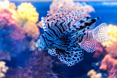 Lionfish in a Dubai aquarium. Pterois mombasae. Petrois Volitans. Lionfish. Turkeyfish. Scorpionfish. Firefish. photo