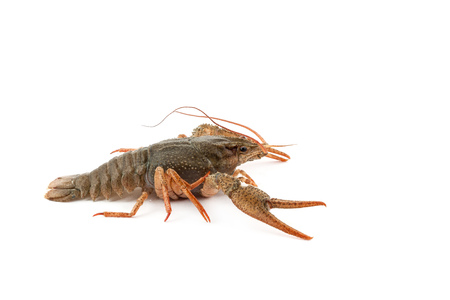 River raw crayfish closeup on white background photo