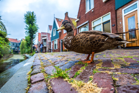 Duck and traditional houses in Holland town Volendam, Netherlands photo