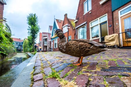 volendam: Duck and traditional houses in Holland town Volendam, Netherlands Stock Photo