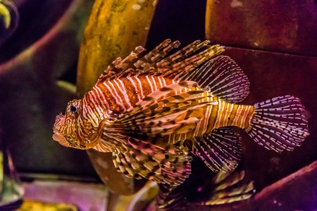 firefish: Lionfish in a Dubai aquarium. Pterois mombasae. Petrois Volitans. Lionfish. Turkeyfish. Scorpionfish. Firefish.