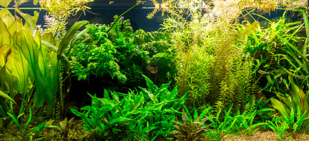 freshwater aquarium: A green beautiful planted tropical freshwater aquarium with fishes Stock Photo