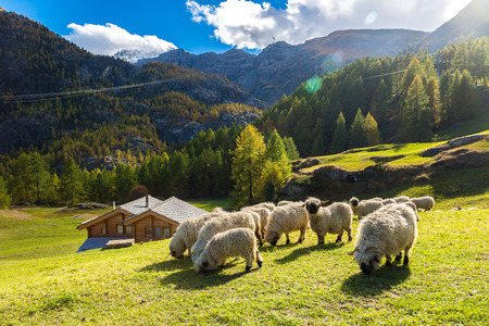 black and white farm: Swiss Alps and Valais blacknose sheep nest to Zermatt  in Switzerland