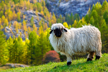 Swiss Alps and Valais blacknose sheep nest to Zermatt  in Switzerland
