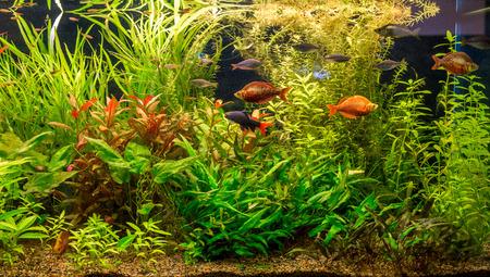 anubias: Un hermoso acuario de agua dulce verde plantado tropical con peces