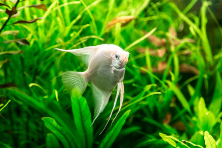 pterophyllum: A green beautiful planted tropical freshwater aquarium with fish pterophyllum scalare