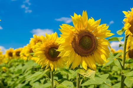 girasol: Campo de girasoles en flor en el cielo azul
