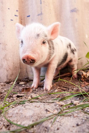 nosey: Close-up of a cute muddy piglet running around outdoors on the farm. Ideal image for organic farming